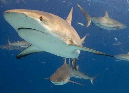Thresher Shark Facts   Thresher Shark Diet & Habitat