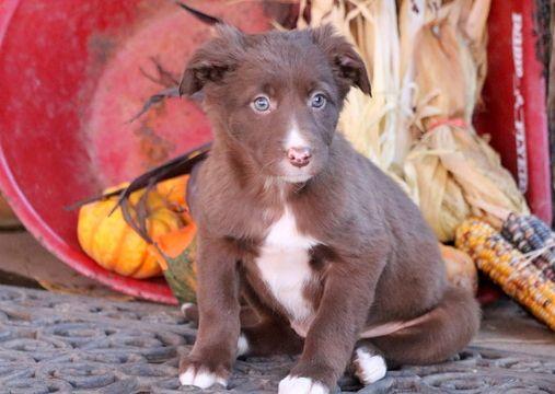 Border Collie puppy for sale in MOUNT JOY, PA. ADN-53640 on PuppyFinder.com Gender: Female. Age: 7 Weeks Old