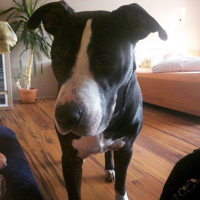 Budzisz się, a tu przed tobą taki widok. #pies #dog #animal #amstaf #zwierze #home #friend #room #happy #morning