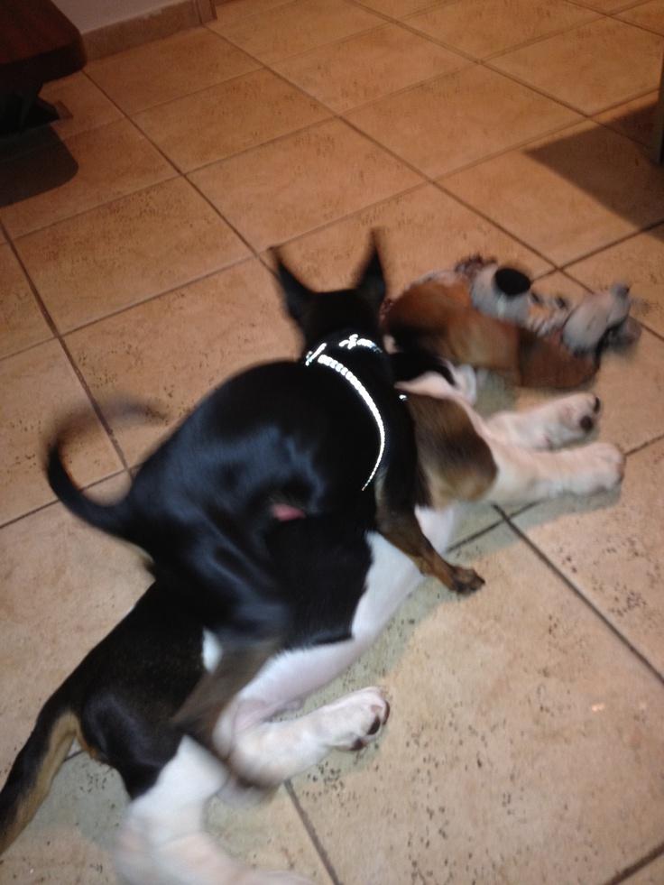 Min pin vs Basset hound..