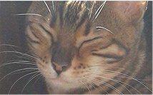 Chatterie des anges tigrés - Elevage de chat bengal à Mouthier haute pierre