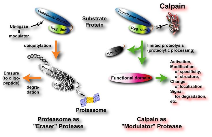 Neutral protease is Bacillus subtilis fermentation derived from, is a endonuclease, can be used for a variety of protein hydrolysis. At a certain temperature, PH value, the product can hydrolyze macromolecules such as amino acids and other protein products.