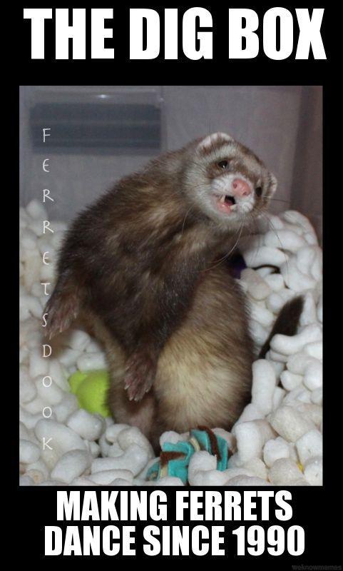 Pin by Michelle C on Ferrett Cute ferrets, Pet ferret