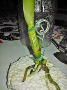 cultivando Orquídeas e idéias: Como fazer um SPA para plantas desidratadas e sem ...