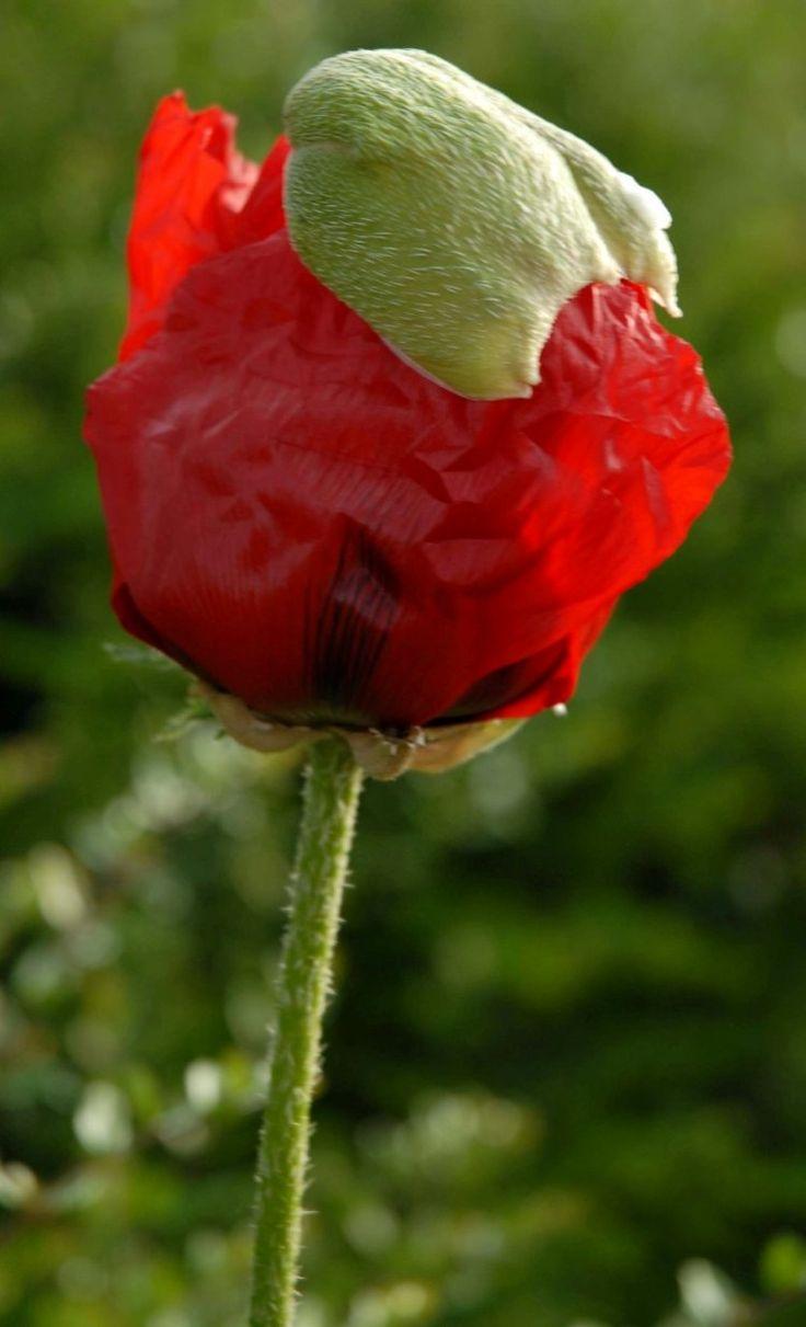 wild poppy flowers on - photo #45