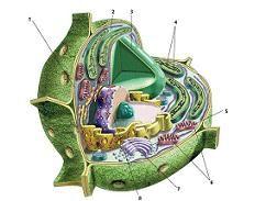 Definición de célula vegetal — Definicion.de