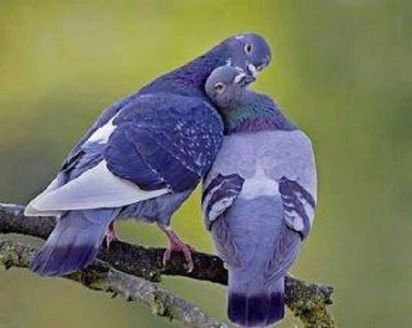 """Résultat de recherche d'images pour """"pigeons amoureux dessin"""""""