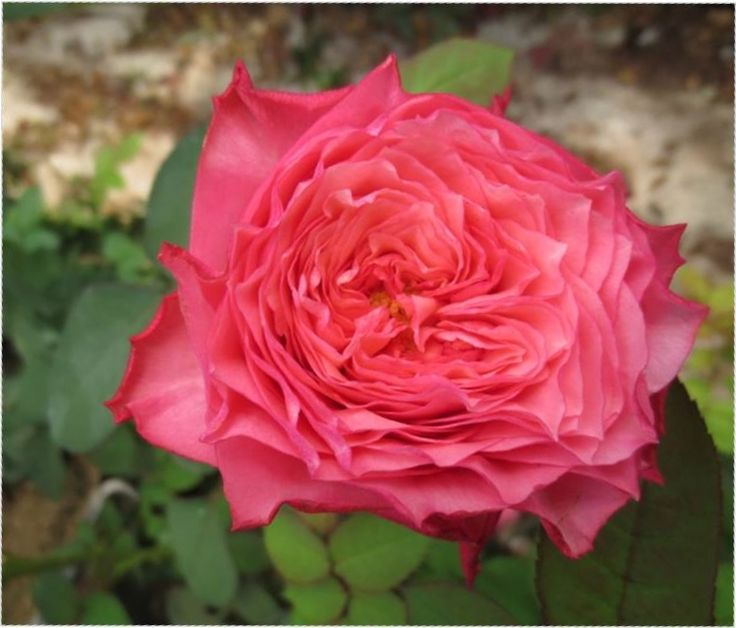 Coral Garden Rose 54 best coral flowers images on pinterest | pretty flowers