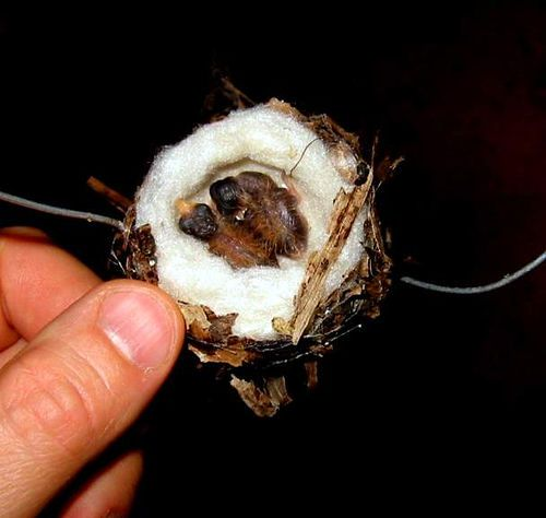 Hummingbird nest. It's hard to invision just how small they are if there isn't something to compare to.