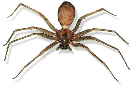 Brown recluse spider. Note the violin-shaped mark on its back. And here's the result of a bite: They move indoors for the winter: As the cold weather creeps in, so do brown recluse spiders. T…