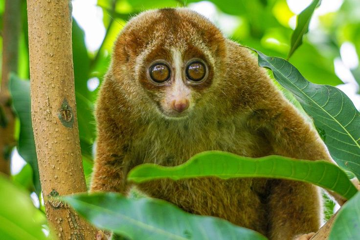 Slow loris | 15 cute animals that could kill you | MNN - Mother Nature Network