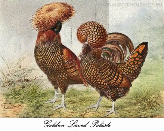 Golden Laced Polish hen & rooster