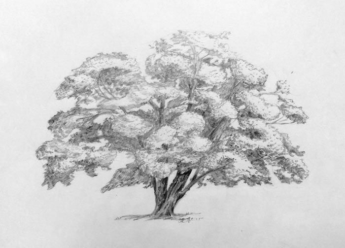 Step By Step Drawing Trees Analyzing The Form And Drawing Tutorial Trees Drawing Tutorial Tree Drawing Landscape Drawings