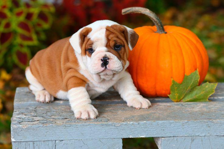 English Bulldog puppy with pumpkin