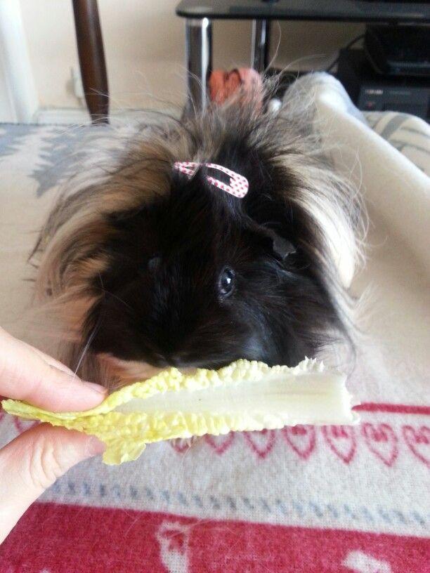 Peruvian guinea pigs hair keeps getting in her eyes....such a cute piggy