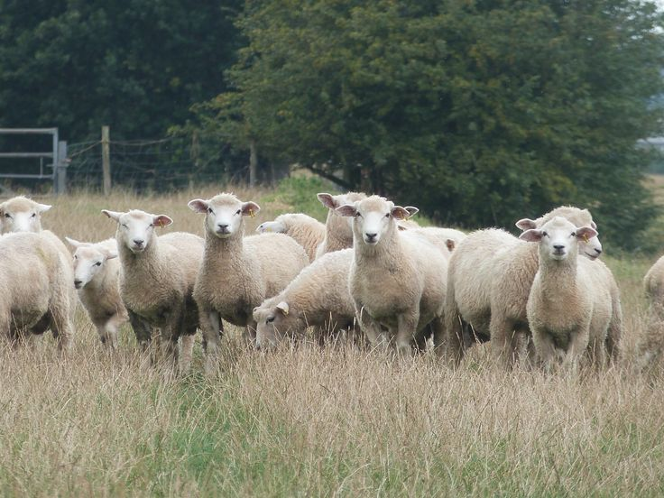 Some of our purebred Romney ram lambs out enjoying the Kent countryside!