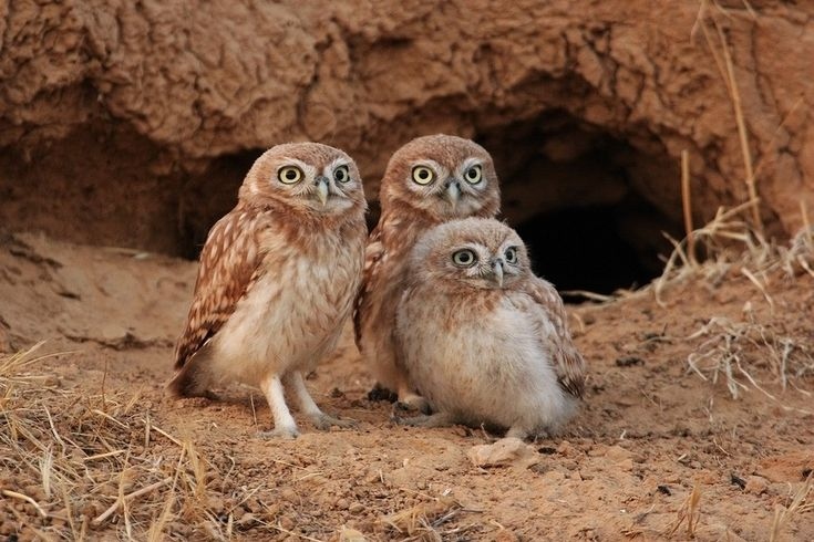 Image Result For Snowy Owls Pictures Fresh Snowy Owl National Geographic