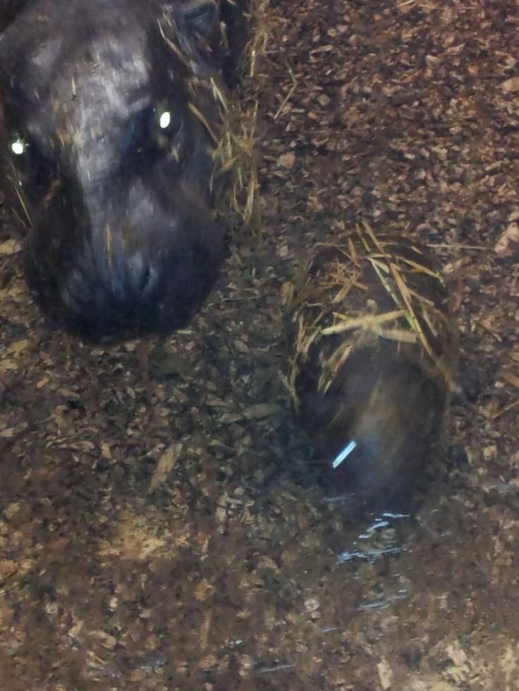 Een dwergnijlpaardmoeder met haar jong.  In Zoo Parc Overloon