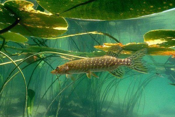 Рыбалка в Ленобласти, рыбалка в Ленинградской области, где ловить рыбу в Ленобласти, где ловить рыбу в Ленинградской области, рыбалка Ладожское озеро, рыбалка Зеркальное озеро, рыбалка Пионерское озеро, рыбалка Александровское озеро, рыбалка Высокинское озеро, рыбалка Рощинское озеро, рыбалка Ивинский залив, рыбалка озеро Монетка, рыбалка Тихая Заводь, рыбалка Лепсари, бесплатная рыбалка в Ленобласти, платная рыбалка в Ленобласти, как ловить рыбу в Ленинградской области