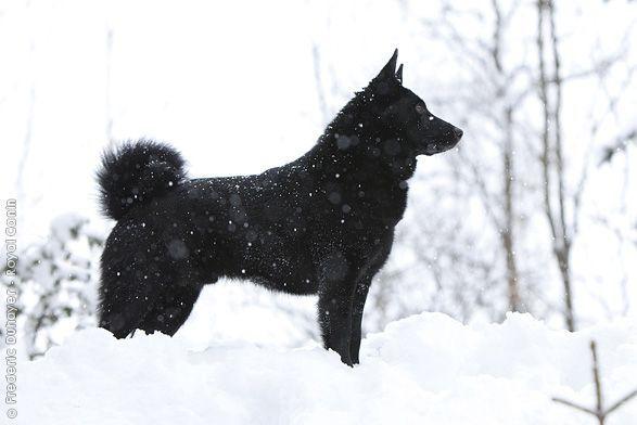 black norwegian elkhound information