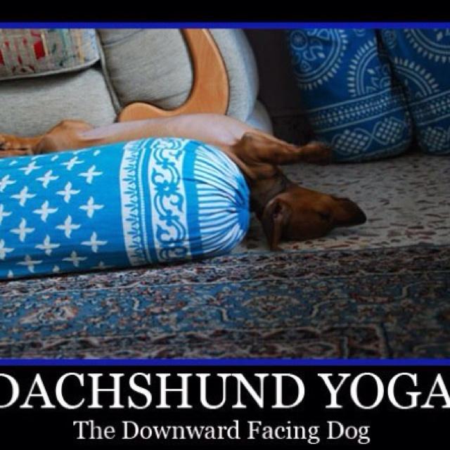 Doxie yoga