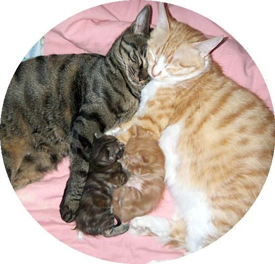 Two little kittens are the spitting image of their parents. One looks like the cat father, the other mirrors his cat mother. Happy furry family: Right before the tiger tabby was scheduled to be neutered, they found out that the cat mama was pregnant according to the owner. Two beautiful kittens we...