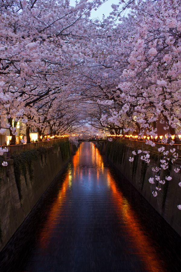 Fantastic place to visit during Hanami.  Cherry Blossoms - Meguru River, Tokyo, Japan