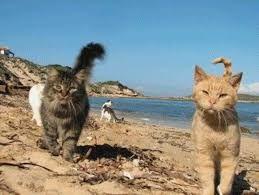Znalezione obrazy dla zapytania colonia felina con su pallosu