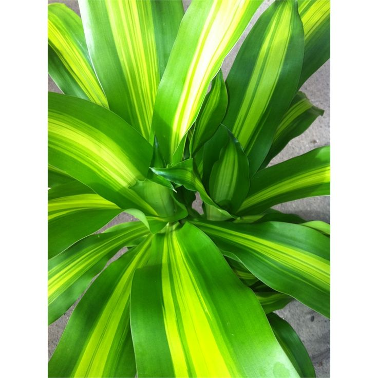 Find 200mm Dracaena Happy Plant at Bunnings Warehouse. Visit your local store for the widest range of garden products.
