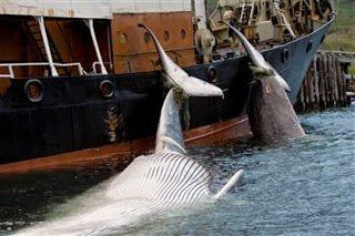 """""""O Grito do Bicho"""": Filme japonês favorável à caça de baleias quer con..."""