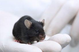 Голландские ученые успешно испытали на мышах препарат против старения