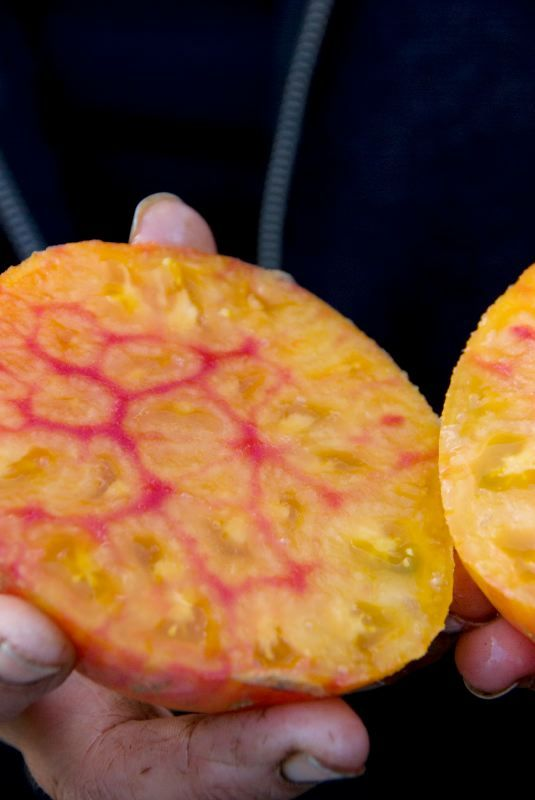 Bøftomat - German striped Øko En gammel tomatsort fra Mennonitterne i Virginia. En meget fin, sødmefuld og vireklig stor og velsmagende gul bøftomat. Fuldt på højde med de bedste røde bøffer. Høj vækst. Tomaterne er orange/gule udenpå, og gule med pink /røde striber indeni