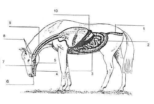 21 best images about horse digestion on pinterest