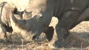 This baby who can totally win this fight. | 23 Baby Rhinos That Will Make You Impossibly Happy