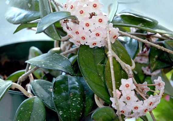Képeken a legszebb futó szobanövények - Porcelánvirág | femina.hu
