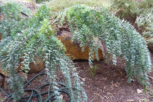 April 2011 - the duckpond, acacia baileyana
