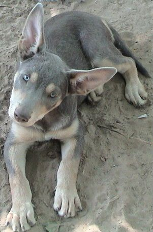 Australian kelpie blue-tan (diluted black)