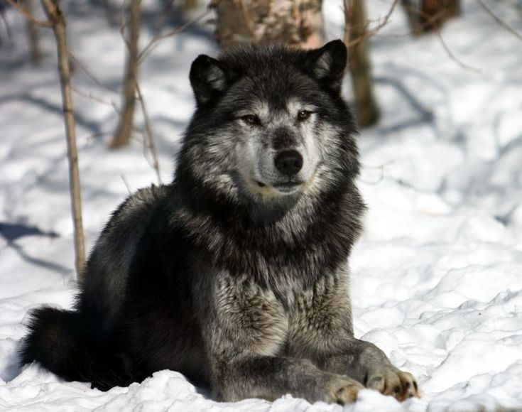 The Wolves of Haliburton Forest, Ontario
