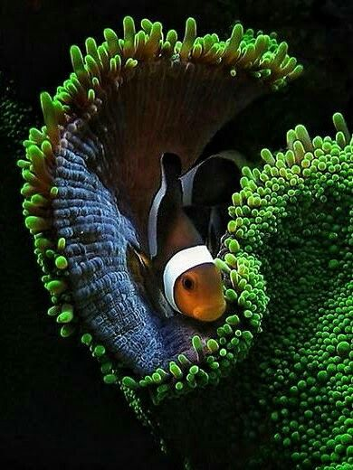 "Clown Fish ~ Miks' Pics ""Sea Life lll"" board @ http://www.pinterest.com/msmgish/sea-life-lll/"