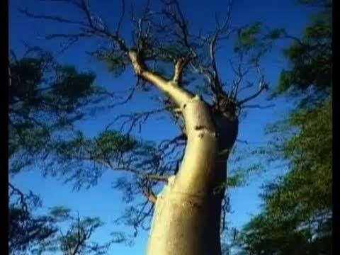 Avantages de l'arbre Moringa | Acheter Moringa oleifera produits