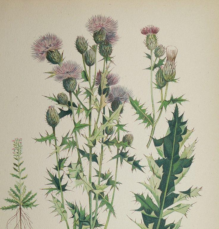 Scottish Themed Tattoos: Canada Thistle Vintage 1923 Botanical Flower Print