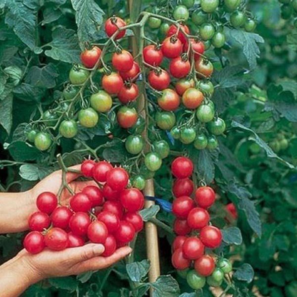 """merlinsgardenmarket: """"  30pcs British Cherries Tomato Seeds Garden Plants Spring for open field and protected cultivation, timely sowing, nurturing seedlings and apply sufficient base fertilizer before planting. Visit us today at..."""