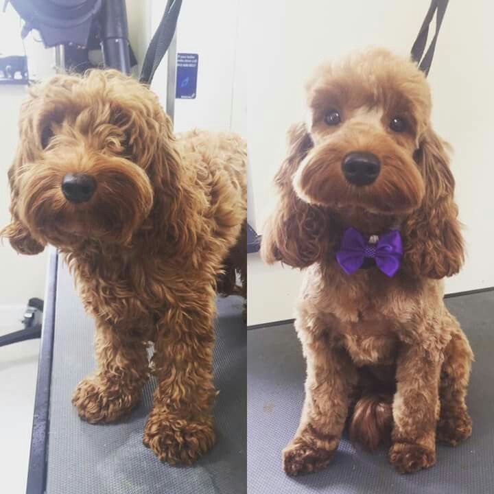 Image result for cockapoo grooming before and after