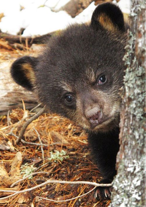 grumpy young brown bear peeking around a tree