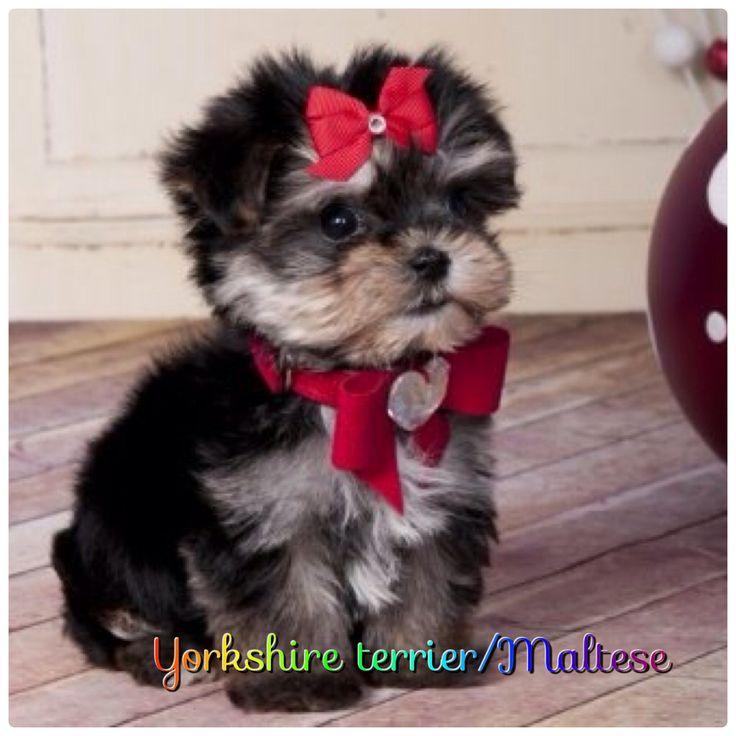 I Need It W I L D Morkie Puppies Teacup Morkie Cute Dogs