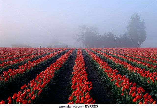 Sunrise early morning with light fog over rows of red tulips in field Skagit County near Mount Vernon Washington State - Stock Image