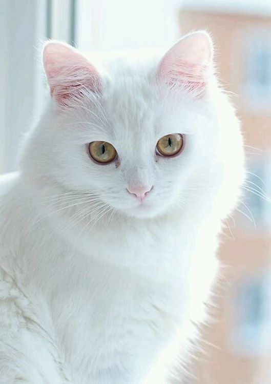 Princess - Beautiful white cat!