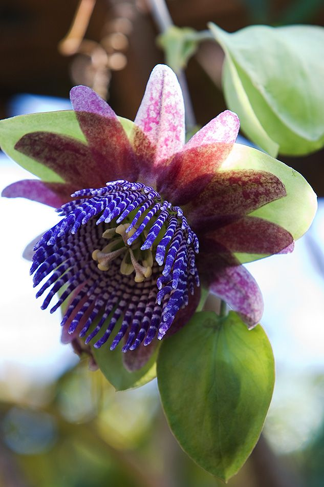 A passion flower, Passiflora triloba - by ~secondclaw on deviantART