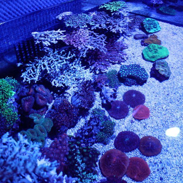 【bali_karang】さんのInstagramをピンしています。 《#海水魚#海水水槽#アクアリウム#水槽#サンゴ#サンゴ水槽#リーフタンク#海水魚#bali#aquarium#reef#coral#fish#reeftank#sea#polyp#id##海水魚#海水水槽#アクアリウム#水槽#サンゴ#サンゴ水槽#リーフタンク#海水魚#bali#aquarium#reef#coral#fish#reeftank#sea#polyp#id # sellinglist.auctions.yahoo.co.jp/user/balikarang?userID=balikarang&ngram=1&u=balikarang》