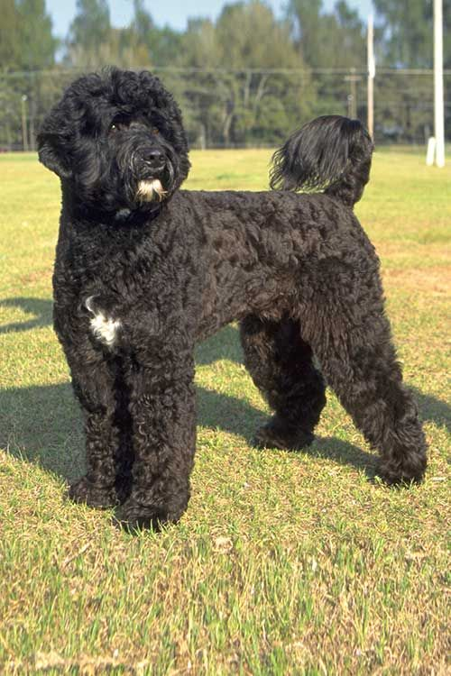 Portuguese Water Dog Dog Breed Information Portuguese Water Dog Water Dog Breeds Portugese Water Dogs